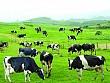 Thưởng Thức Món Sữa Bò Non Mộc Châu