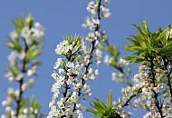 Chùm Ảnh Mùa Xuân Trên Cao Nguyên Mộc Châu
