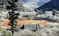 Du lịch Mộc Châu- Thung lũng hoa mận