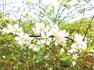 Lời thì thầm của những loài hoa Mộc Châu