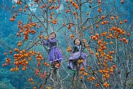 Mê mẩn vườn hồng trĩu quả tại Mộc Châu – thiên đường sống ảo mới