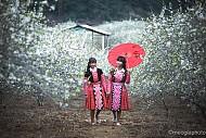 Mộc Châu Vào Mùa Hoa Mận, Thu Hút Khách Du Xuân