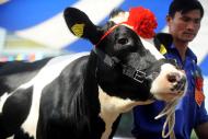 Sôi Động Cuộc Thi Hoa Hậu Bò Sữa Mộc Châu 2014